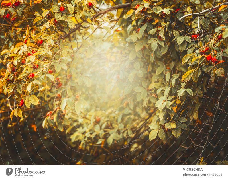 Herbst Natur Hintergrund mit Rahmen aus Hagebutten Natur Pflanze Landschaft Blatt Herbst Lifestyle Garten Design Frucht Park Sträucher Rose trendy Rahmen Hagebutten Grunge