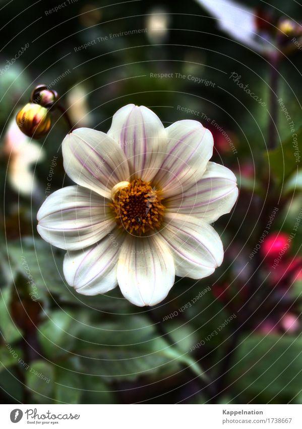 Blüte Pflanze Blume Grünpflanze Garten Bourtange Niederlande Europa Kleinstadt exotisch schön gelb weiß Gartenarbeit Gartengestaltung Farbfoto Außenaufnahme Tag