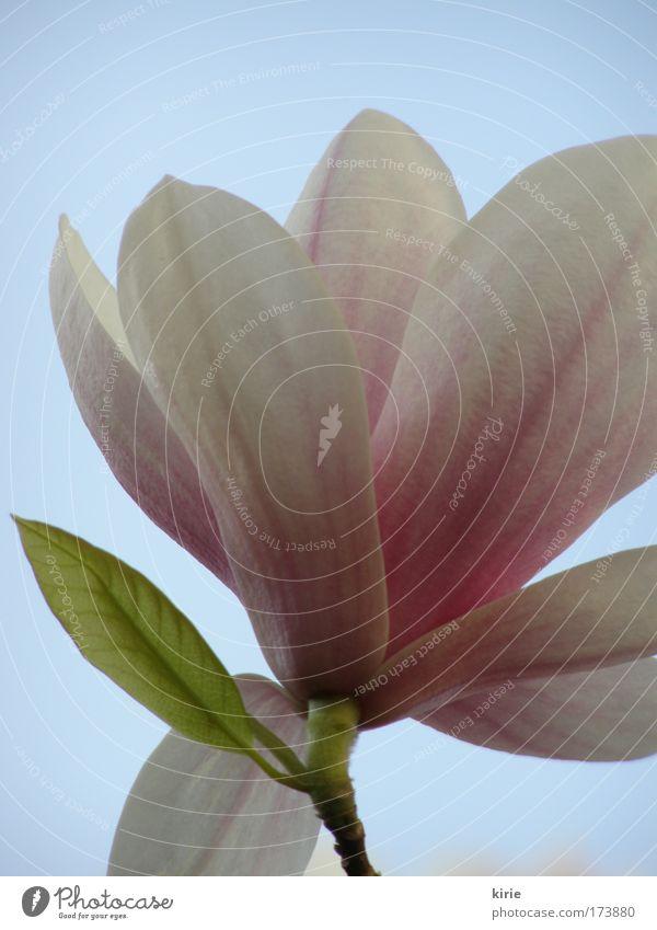 so zart und elegant... Himmel weiß Blume blau Pflanze Blüte rosa ästhetisch Freundlichkeit Magnoliengewächse Wolkenloser Himmel Magnolienblüte