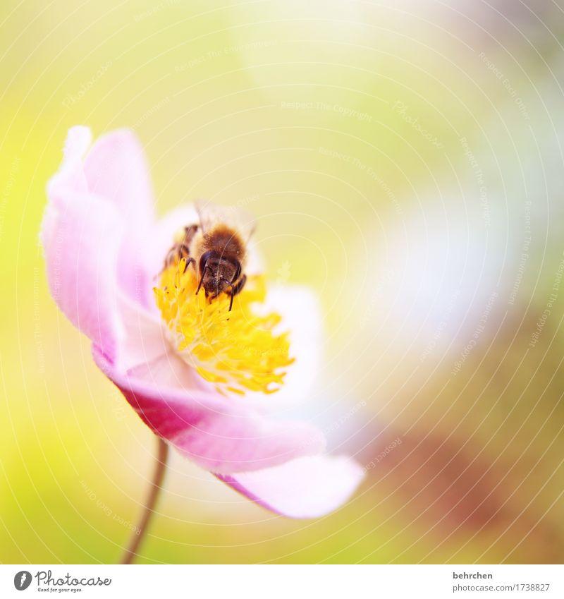 ane mönchen Natur Pflanze Tier Sommer Schönes Wetter Blume Blatt Blüte Herbstanemone Garten Park Wiese Wildtier Biene Tiergesicht Flügel 1 Blühend Duft Erholung