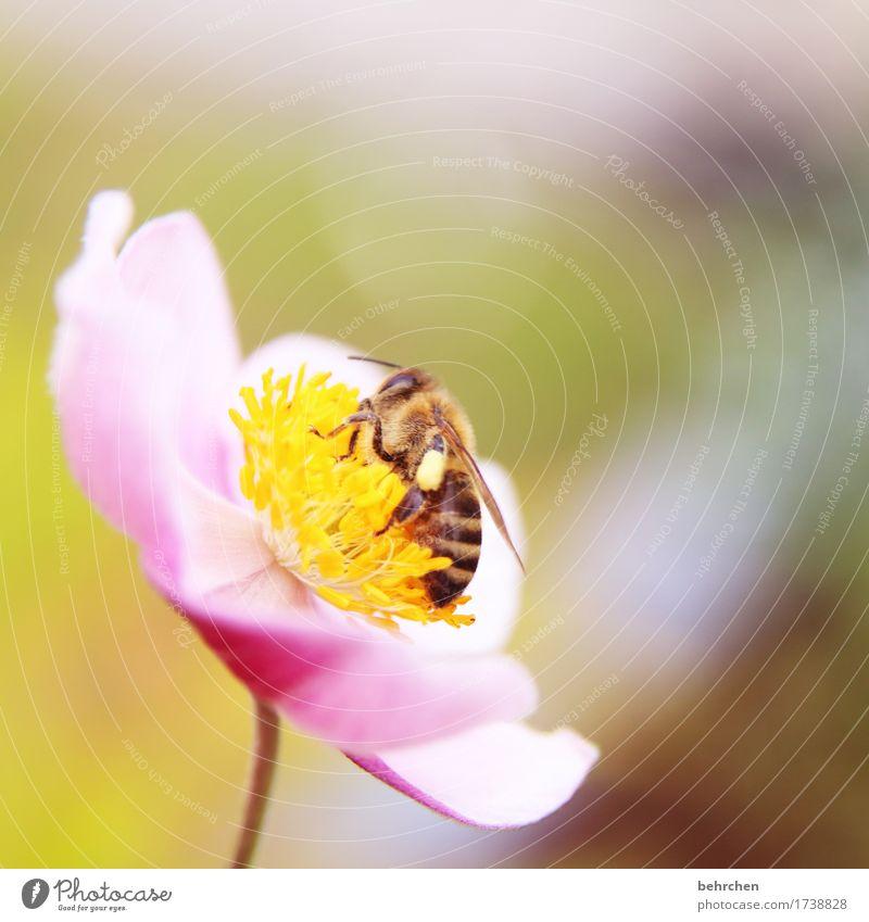 herbstanemonenbienchen Natur Pflanze Tier Sommer Blume Blatt Blüte Herbstanemone Garten Park Wiese Wildtier Biene Flügel 1 Blühend Duft schön klein Sammlung