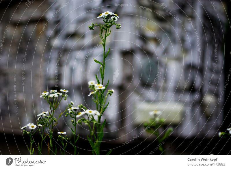 Blümelein. Natur Pflanze Sommer Umwelt Gras Gebäude Blüte Fassade Erfolg authentisch Wachstum ästhetisch Wandel & Veränderung Blühend stark trashig