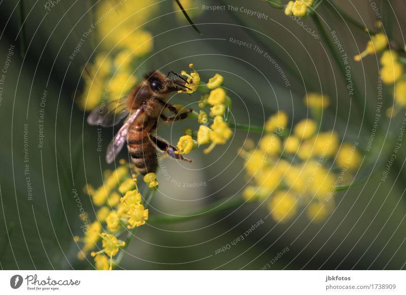 Biene auf Fenchelblüte Lebensmittel Ernährung Umwelt Natur Tier Sommer schlechtes Wetter Pflanze Blume Blüte Garten Nutztier Wildtier Tiergesicht Flügel 1