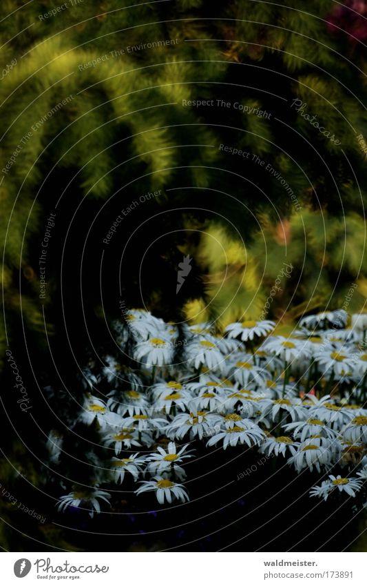 Blumen für xxxxcesxxxx Schwache Tiefenschärfe Natur Pflanze Sommer Blüte Park Romantik Margerite Garten Beet Stauden Nadelbaum Spiegeltele Bokeh mystisch
