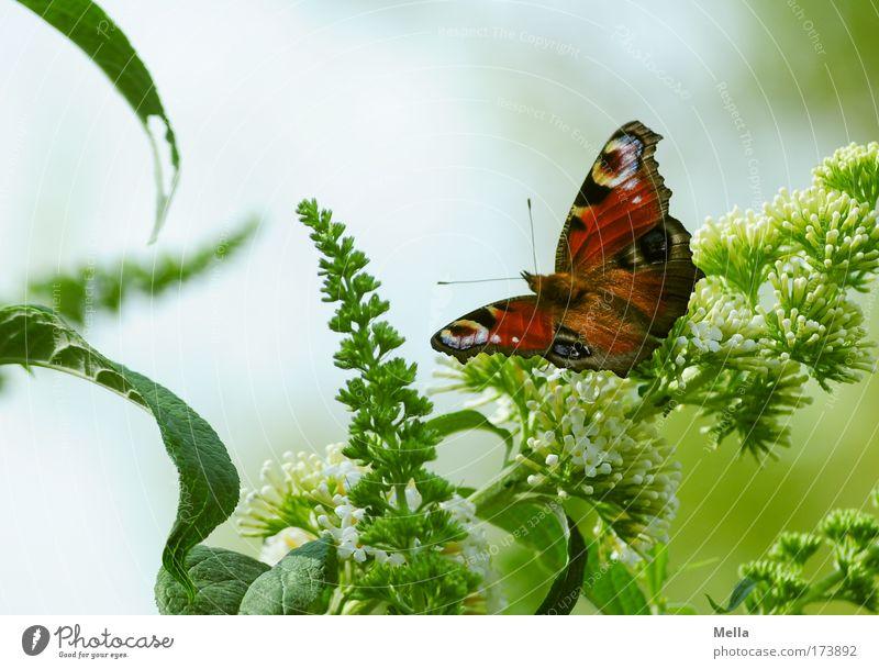 Schmetterdingens Umwelt Pflanze Tier Frühling Sommer Sträucher Sommerflieder Park Schmetterling Tagpfauenauge 1 sitzen frei Freundlichkeit schön natürlich grün