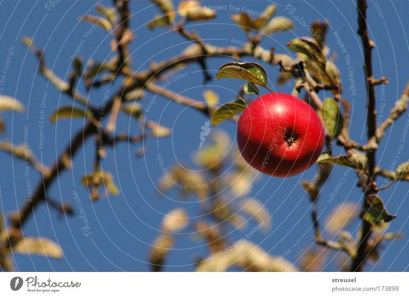 Prachtapfel Lebensmittel Frucht Apfel Ernährung Bioprodukte Vegetarische Ernährung Gesundheit Zufriedenheit Garten Natur Wolkenloser Himmel Sonnenlicht Sommer