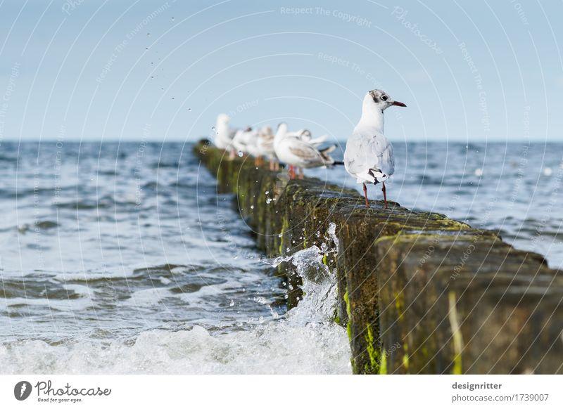 Guckst du?! Ferien & Urlaub & Reisen Sommer Sommerurlaub Wasser Wolkenloser Himmel Wellen Küste Strand Ostsee Meer Brandung Holzpfahl Buhne Vogel Möwe Lachmöwe