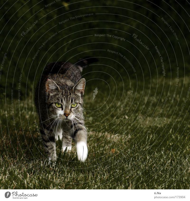 kleine Wildkatze Farbfoto Gedeckte Farben Außenaufnahme Textfreiraum oben Abend Garten Tier Haustier Wildtier Katze 1 entdecken Jagd Blick wandern ästhetisch