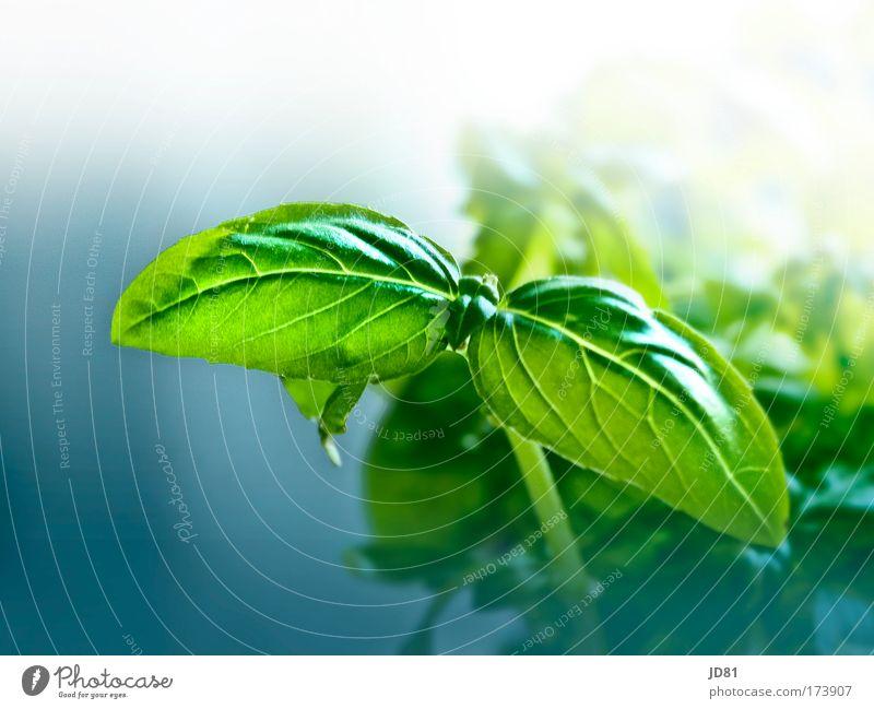 frisches Grün blau grün Pflanze Umwelt Ernährung ästhetisch Kräuter & Gewürze Bioprodukte Grünpflanze Vegetarische Ernährung Nutzpflanze Basilikum Topfpflanze Basilikumblatt
