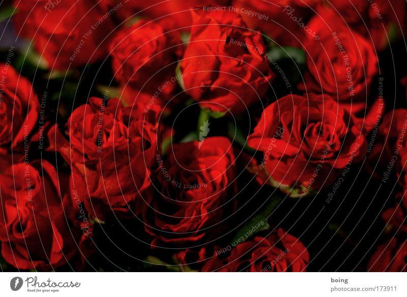 1000 Tage Rose schön Blume rot Gefühle Blüte Frühling Glück träumen Dekoration & Verzierung Wunsch Duft Blumenstrauß genießen Sinnesorgane Flirten