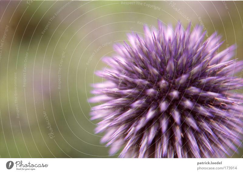 [KI09] Nur gucken, nicht anfassen Natur Pflanze Blüte Umwelt ästhetisch Wachstum rund Romantik weich violett Blühend leuchten Duft stachelig Grünpflanze Distel