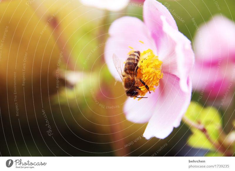 frühlingsgefühle Natur Pflanze Tier Sommer Schönes Wetter Blume Blatt Blüte Herbstanemone Garten Park Wiese Wildtier Biene Tiergesicht Flügel 1 beobachten
