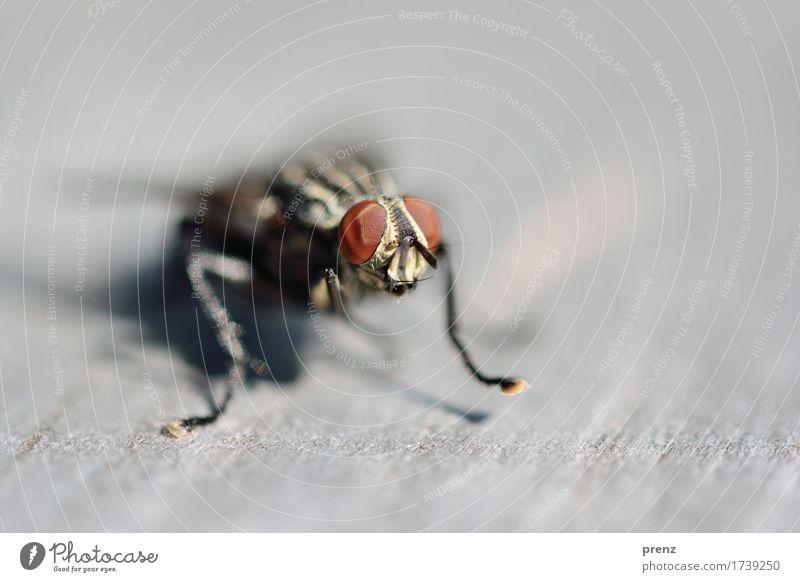 Am Start Natur Tier Umwelt grau braun Wildtier Fliege sitzen Insekt Tiergesicht Facettenauge