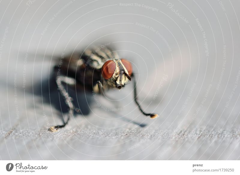 Am Start Umwelt Natur Tier Wildtier Fliege Tiergesicht 1 braun grau Facettenauge sitzen Insekt Farbfoto Außenaufnahme Nahaufnahme Detailaufnahme Makroaufnahme