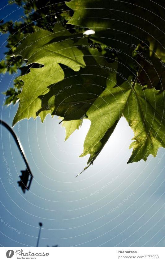 Farbfoto Außenaufnahme Detailaufnahme Menschenleer Licht Kontrast Silhouette Sonnenlicht Gegenlicht Umwelt Pflanze Luft Himmel Sommer Baum Blatt Park schön blau