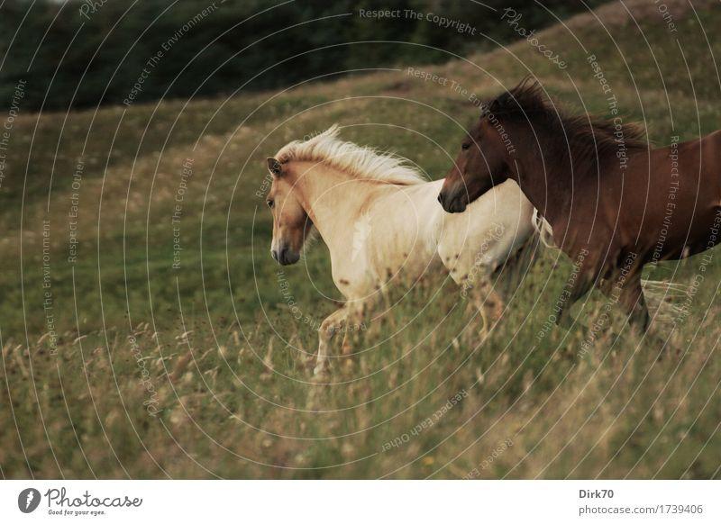 Wild Horses Natur Gras Wiese Düne Weide Tier Haustier Nutztier Pferd Pony Island Ponys Falbe Brauner 2 kämpfen rennen toben frei natürlich wild Kraft Mut