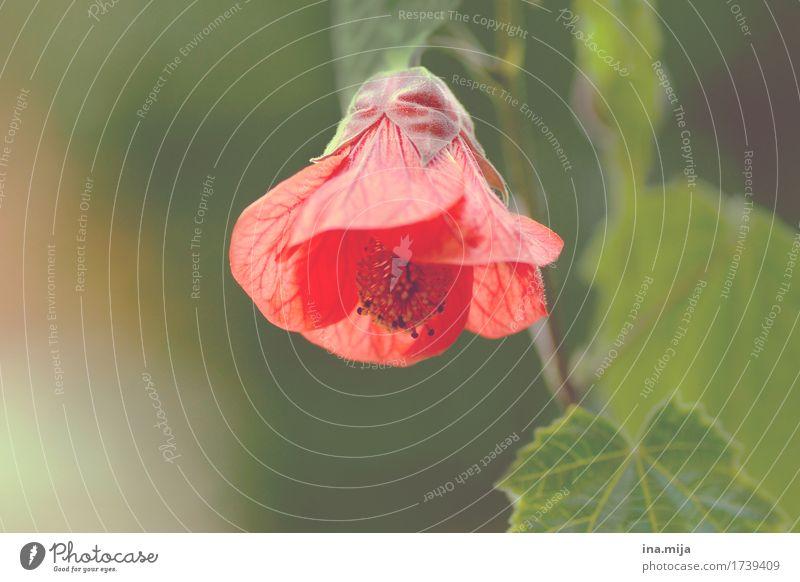 rotes Hütchen Umwelt Natur Pflanze Frühling Sommer Schönes Wetter Blume Blatt Blüte Grünpflanze Topfpflanze exotisch Garten Park Treue Gelassenheit ruhig