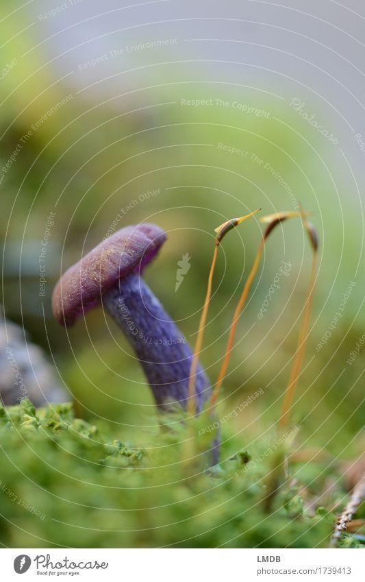 Lila Schwammerl und die drei Moosgetiere Umwelt Natur Pflanze Erde Herbst Wald grün violett Pilz Waldboden klein selten feucht Pilzsucher Gift Farbfoto