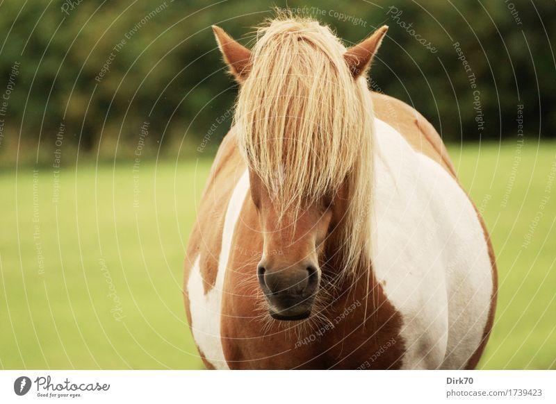 Gaaanz viel Pony! weiß Baum Tier Wald Wiese Gras braun Freizeit & Hobby blond niedlich Coolness Freundlichkeit Landwirtschaft Pferd Gelassenheit Weide