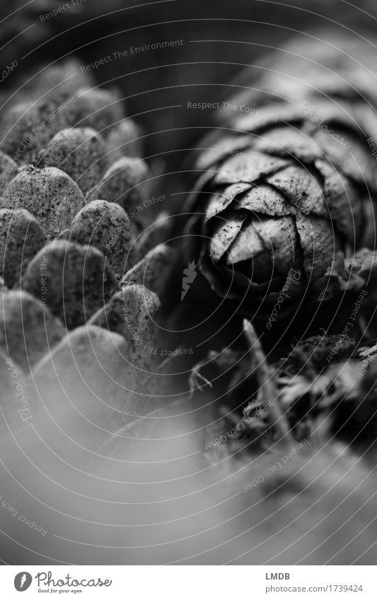 Tannenzapfen 2 Natur Pflanze Weihnachten & Advent Wald schwarz Umwelt Traurigkeit grau nachdenklich Trauer Weihnachtsdekoration Waldboden Tannennadel Fichte