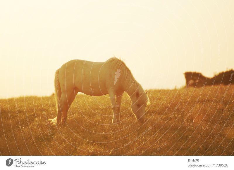 Friedlich grasen bei Sonnenuntergang. Reiten Viehhaltung Reiterhof Natur Sonnenaufgang Sonnenlicht Sommer Schönes Wetter Wärme Gras Sträucher Wiese Weide