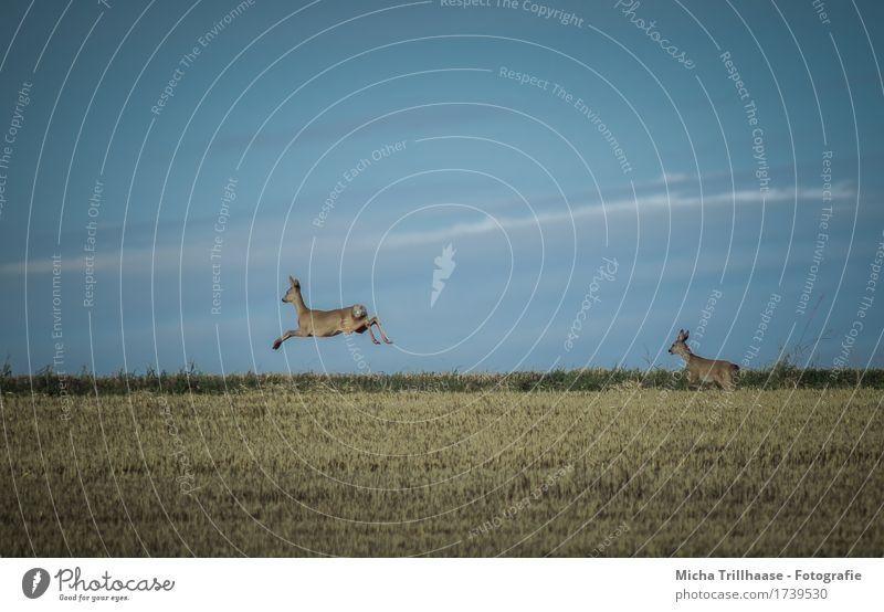 Rehe im Sprung Jagd Natur Tier Himmel Wolken Schönes Wetter Feld Wildtier 2 Tierpaar rennen Bewegung laufen springen elegant hoch natürlich Geschwindigkeit wild