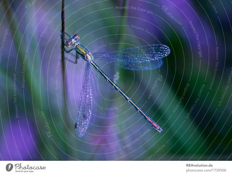 Libelle Umwelt Natur Tier Sommer Pflanze Teich Insekt 1 violett Farbfoto Außenaufnahme Nahaufnahme Detailaufnahme Makroaufnahme Tag Schatten Unschärfe