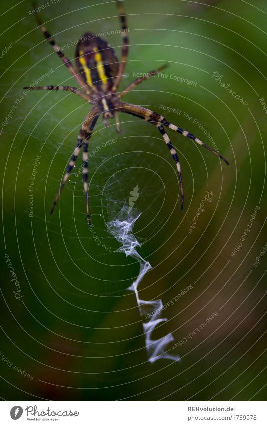 Tigerspinne Umwelt Natur Landschaft Tier Wildtier Spinne 1 warten Aggression außergewöhnlich bedrohlich dunkel gruselig klein grün Netz Dieb Spinnennetz