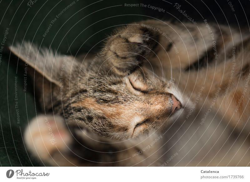Fest und tief Tier Haustier Katze 1 schlafen träumen schön klein braun schwarz ruhig Müdigkeit Erschöpfung Schutz Zufriedenheit Schlafendes Kätzchen Farbfoto
