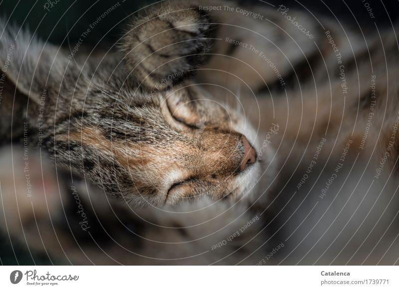 Tief und fest Tier Haustier Katze 1 Tierjunges schlafen schön weich braun schwarz Zufriedenheit Tierliebe Gelassenheit ruhig Müdigkeit Schlafendes Kätzchen
