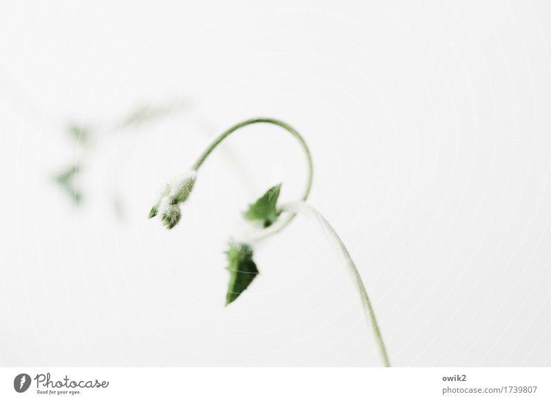 Spiralwachstum Umwelt Natur Pflanze Blatt Grünpflanze Topfpflanze Ranke Spirale Stengel Halm Kletterpflanzen Bewegung Wachstum dünn authentisch Gelassenheit