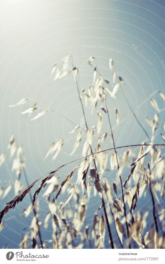 Natur Himmel blau Pflanze Feld Umwelt Urelemente Wildpflanze Saatgut