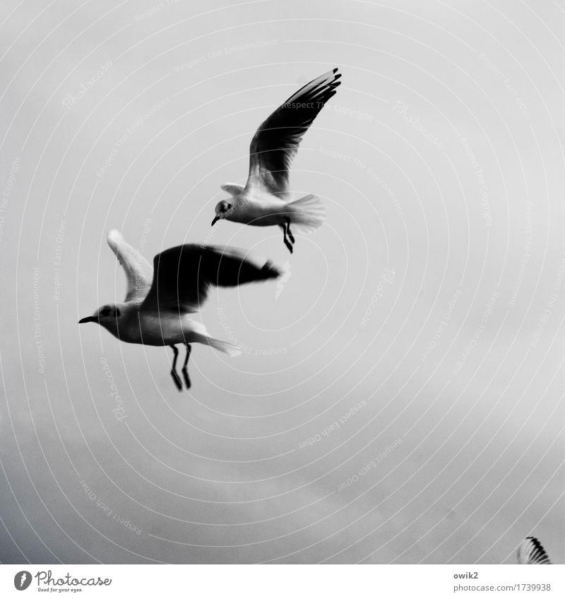 Flugpersonal Umwelt Tier Wolken Klima Schönes Wetter Wildtier Möwe Möwenvögel 2 rennen Bewegung entdecken fliegen frei Zusammensein Neugier Geschwindigkeit