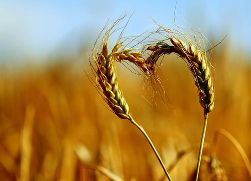 more nature love Natur Landwirtschaft Sommer ruhig Umwelt Liebe Gesundheit Feld natürlich Lebensmittel frisch Schönes Wetter Ackerbau Getreide Gelassenheit Korn