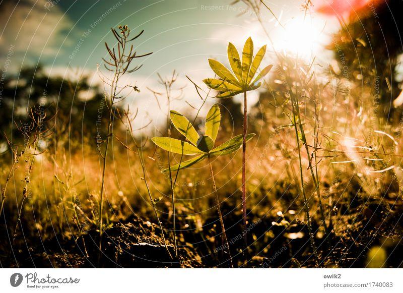 Sprösslinge Umwelt Natur Pflanze Himmel Wolken Frühling Klima Schönes Wetter Sträucher Blatt Grünpflanze Unkraut Lupine Lupinenblatt leuchten Wachstum klein nah