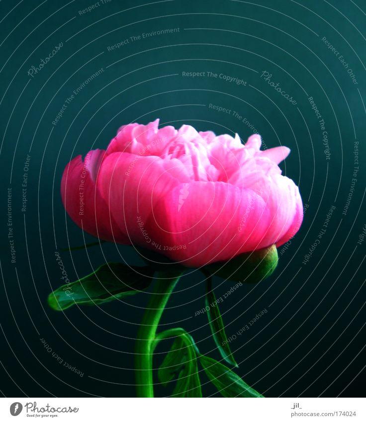 pfingstrose schön Blume grün blau Pflanze Leben Stil Blüte rosa elegant ästhetisch rund Romantik einzigartig Lebensfreude Gelassenheit
