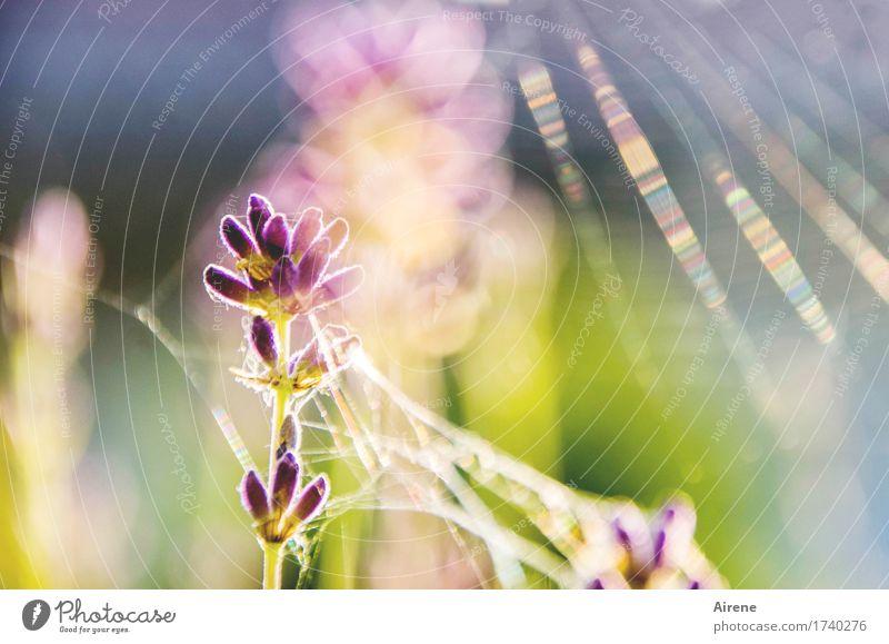 versponnen Pflanze Sommer Schönes Wetter Blume Lavendel Spinngewebe leuchten ästhetisch hell gold violett rosa Glück Warmherzigkeit schön einzigartig Ewigkeit