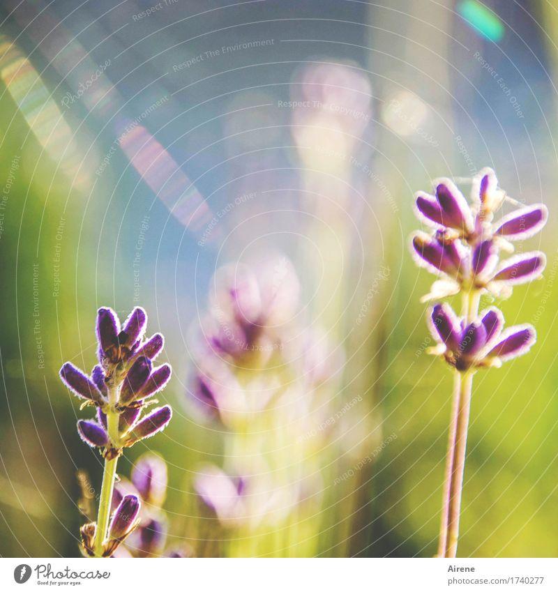 dufte Heilpflanzen Duft Sommer Schönes Wetter Pflanze Blume Lavendel Blühend leuchten blau gold violett Alternativmedizin Farbfoto Außenaufnahme Menschenleer