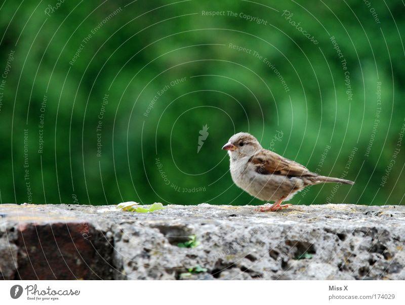 Süßer Spatz Natur Sommer Tier Umwelt Frühling Tierjunges Vogel Flügel Schnabel füttern Spatz Brunft