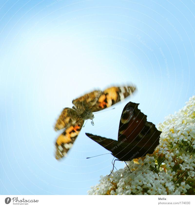 Weg da, jetzt komm ich! Umwelt Natur Pflanze Tier Himmel Blüte Park Wildtier Schmetterling Distelfalter Tagpfauenauge 2 fliegen elegant frei schön natürlich