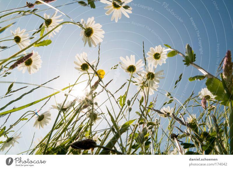 Ameisenperspektive Gedeckte Farben Sonnenlicht Sonnenstrahlen Gegenlicht Pflanze Wolkenloser Himmel Sommer Blume Gras Wiese ästhetisch blau grün weiß