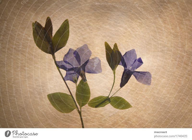 Vinca minor Immergrün Blume Blüte Pflanze pflanzlich Wachstum Saison Sommer natürlich Blatt retro Reaktionen u. Effekte altehrwürdig braun gelb Papier Herbarium