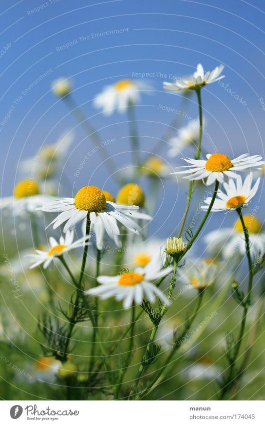 Kamille Farbfoto mehrfarbig Außenaufnahme Textfreiraum oben Textfreiraum unten Hintergrund neutral Tag Sonnenlicht Zentralperspektive Totale schön Teepflanze