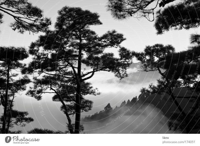 NebelReich II Landschaft Wald Berge u. Gebirge Wolken Baum Kiefer La Palma Kanaren Schwarzweißfoto Außenaufnahme Menschenleer Schatten Kontrast Wolkenschleier