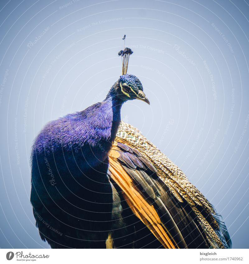 Pfau Tier Vogel 1 Blick sitzen Neugier schön blau gold exotisch Farbfoto Außenaufnahme Tag Tierporträt