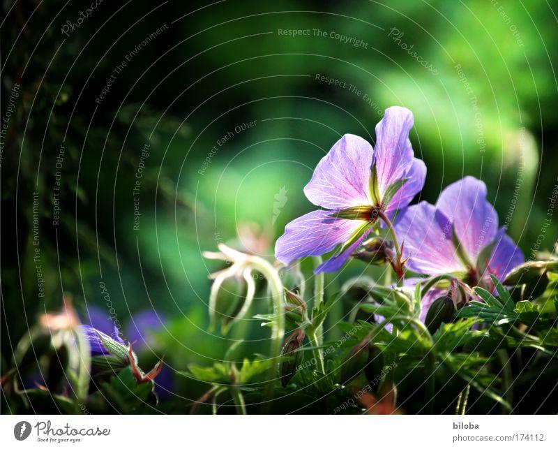 Blütenzauber zum 150-ig Jubi Natur grün schön Pflanze Sommer ruhig Erholung Umwelt Frühling Park Klima Perspektive violett Beet rückwärts