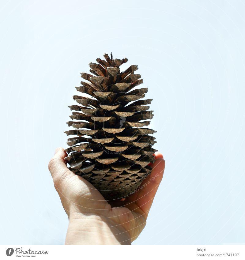 Korsischer Kiefernzapfen Hand Himmel Zapfen festhalten authentisch einfach groß braun Natur Wachstum Wandel & Veränderung Fundstück zeigen offen