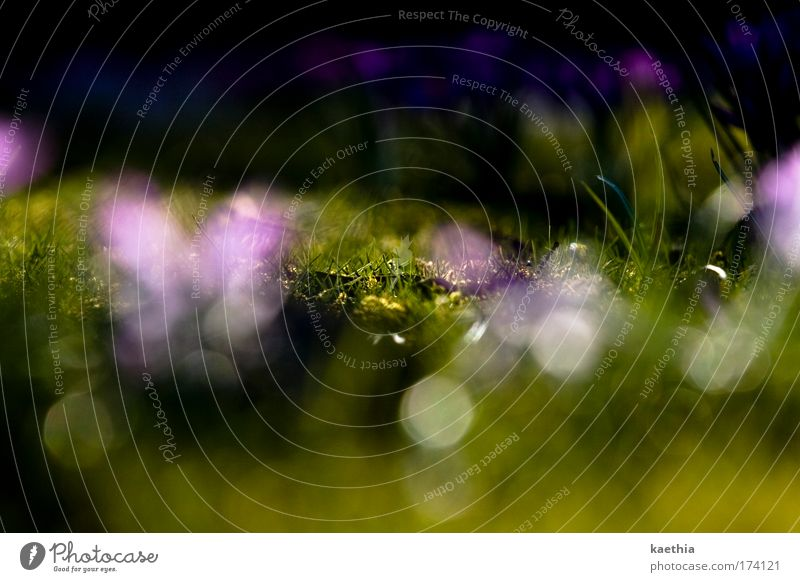 glamour-grass Natur Pflanze Blume Blüte Wiese Duft leuchten exotisch grün violett Frühling Gras glänzend schimmern verstecken hell Sommer Blendenfleck