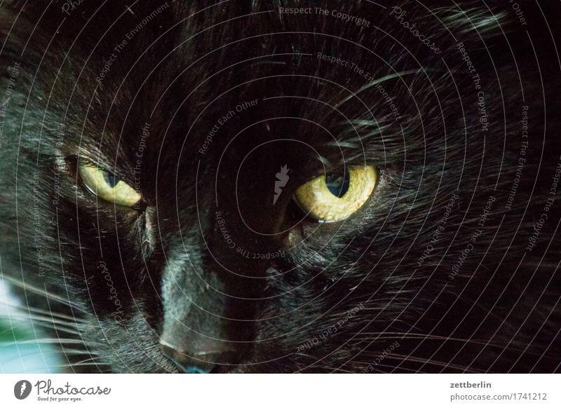 Lucie Katze Tier schwarz Auge Fell Bart Konzentration Wachsamkeit Haustier Hauskatze Oberlippenbart Barthaare Katzenauge