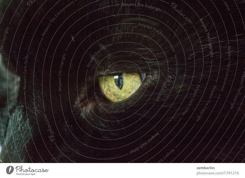 Katzenauge (links)(von der Katze aus gesehen) Auge Bart Barthaare Blick Fell Haustier Hauskatze Konzentration Tierporträt Oberlippenbart schwarz